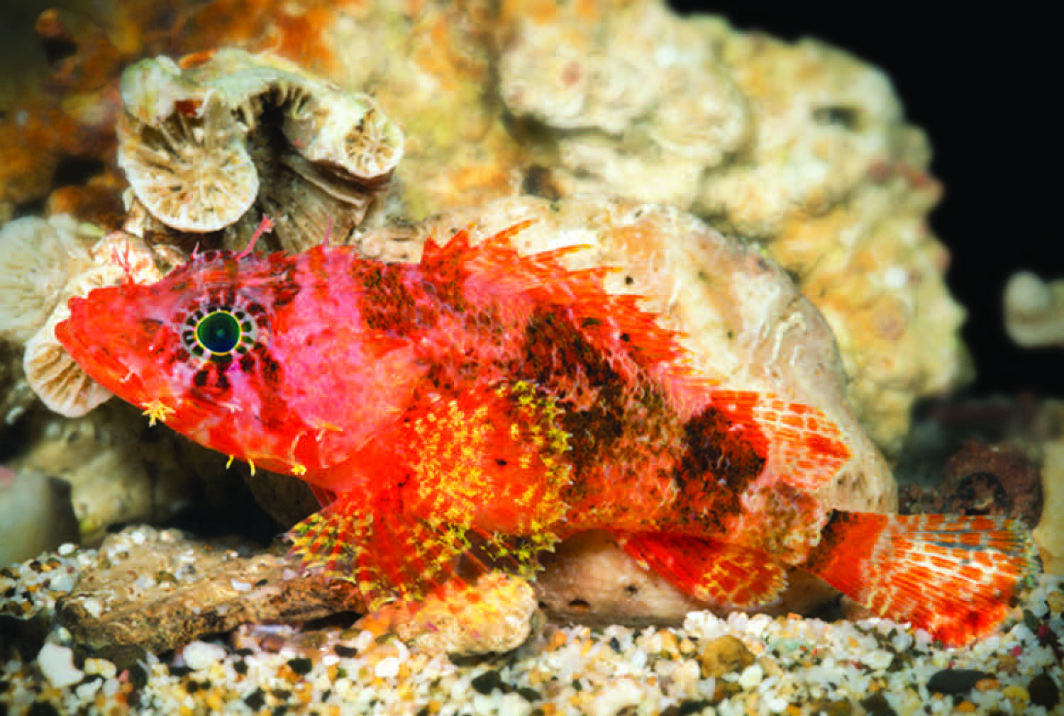 New bright orange-red scorpionfish discovered deep in Caribbean ...