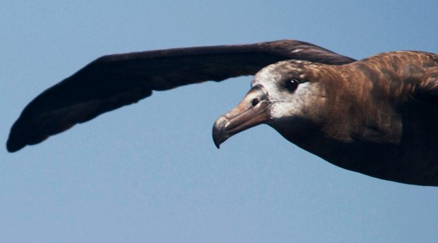 Black-footed Albatross (Flickr photo by budgora)