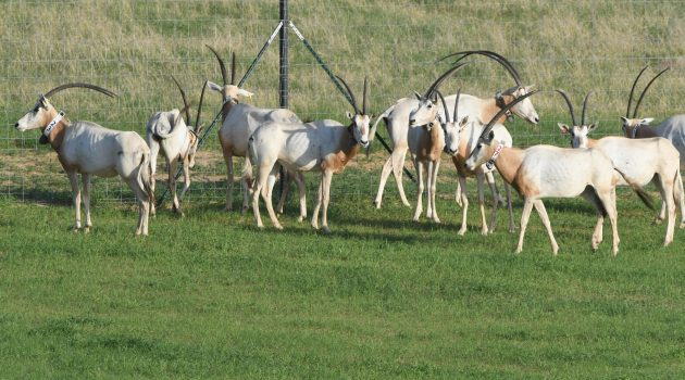 Extinct-in-the-Wild Antelope Return to the  Grasslands of Chad