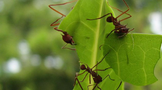 In a 2012 study, scientists observed that of 20 species of fungus-growing ant, including leaf-cutting ants shown above, a majority cover juveniles—eggs , larvae and pupae—in mycelia from the fungus they grow. Scientists now believe this fungal cocoon protects the juvenile ants from parasitic fungus. (University of Wisconsin photo)