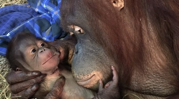 Batang and her infant in the Great Ape House at the Smithsonian's National Zoo. (Photo by Alex Reddy, Smithsonian's National Zoo)