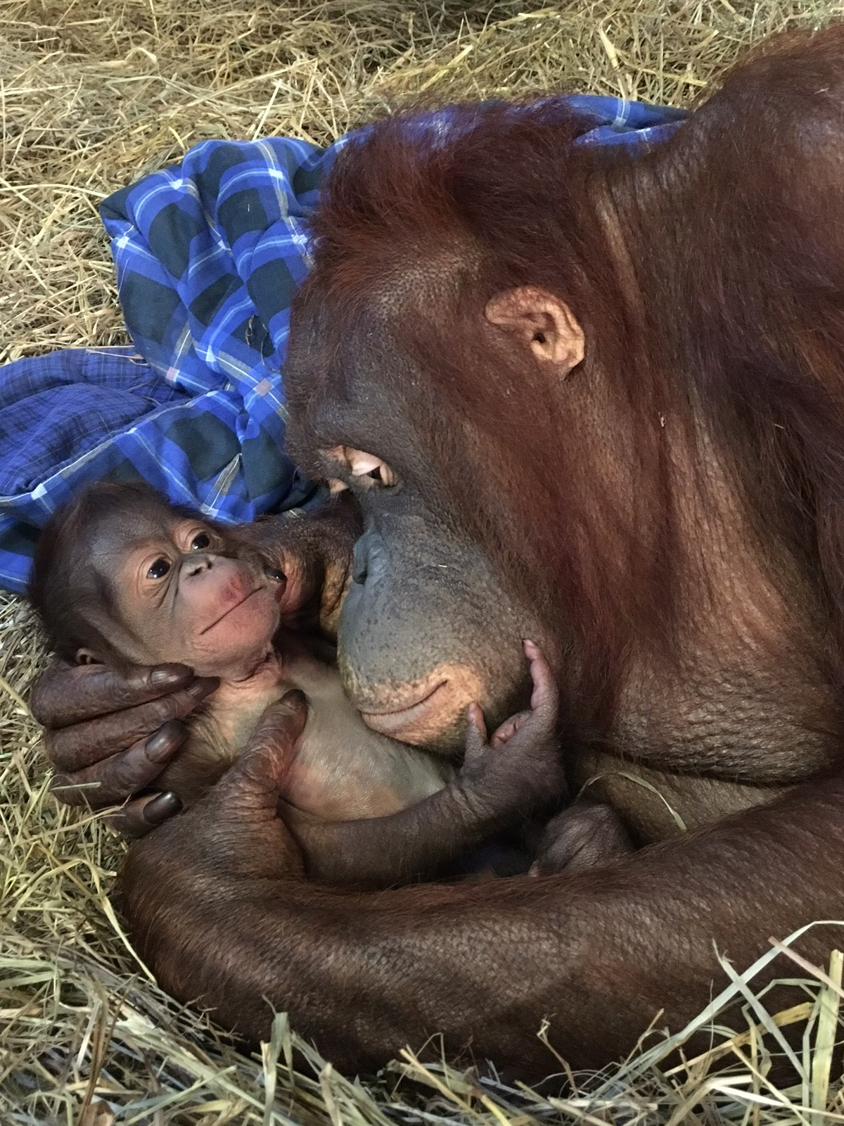 Orangutan Born at Smithsonian's National Zoo