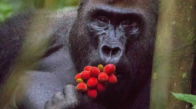 "Adult male western lowland gorilla named 'Makumba' studied in the Primate Habituation Programme of WWF, eats ripe indoya fruit (""Trichoscypha acuminata"") in the Dzanga Sangha Protected Areas of Central African Republic. (Photo by Christopher Whittier)"