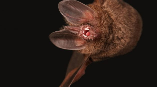Fringe-lipped bat close-up (Alexander T. Baugh)