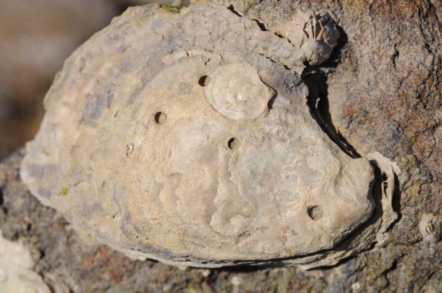 This native oyster from Tomales Bay, California, has survived four drilling attempts by oyster drills, a predatory snail.