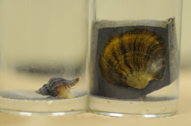 An Atlantic Oyster drill, a predatory snail that attacks native oysters, approaches an Olympia oyster in a respirometry chamber at the UC Davis Bodega Marine Laboratory.