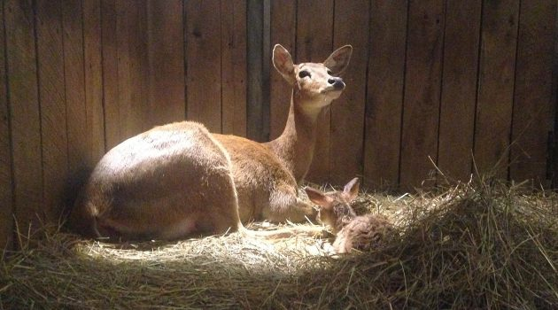 Eld's Deer Fawn Born at the Smithsonian Conservation Biology Institute