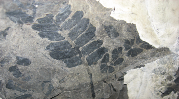 Scientists used fossilized plants, like this seed fern, to reconstruct the ancient atmospheric CO2 record from more than 300 million years ago. (Photo by William DiMichele/Smithsonian)