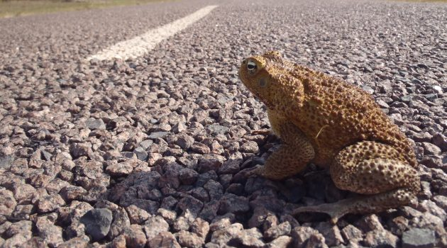 A male cane toad crosses a roadway in the Northern Territory of Australia.