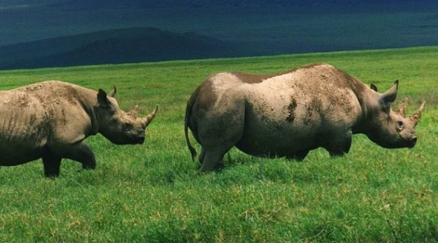 Black Rhinos in Ngorongoro Crater, Tanzania. (Brocken Inaglory)