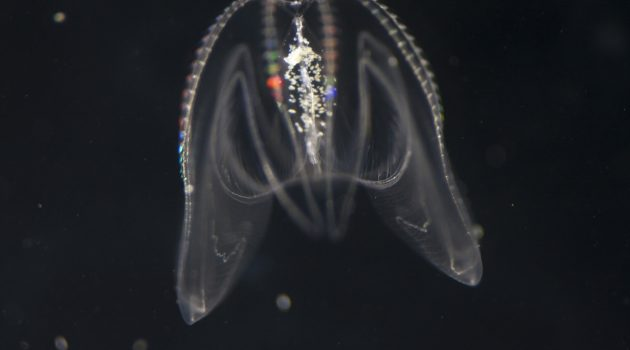 "Comb jelly ""Mnemiopsis leidyi"""