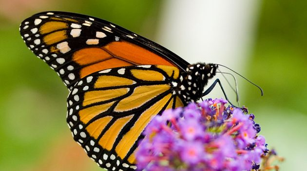 A monarch butterfly (Photo by richiebits)