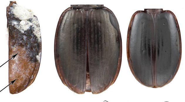 "Fossil of the right elytron of ""A. balli"" compared with the elytra of three closely related modern beetles."