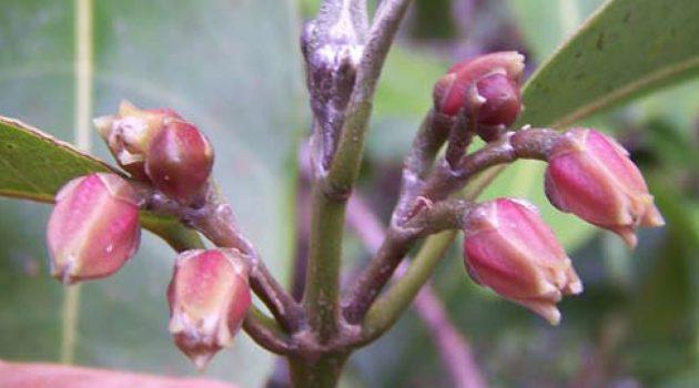 """Flowers of """"M. oppenheimeri"""" (Photo by Frank Oppenheimer)"""