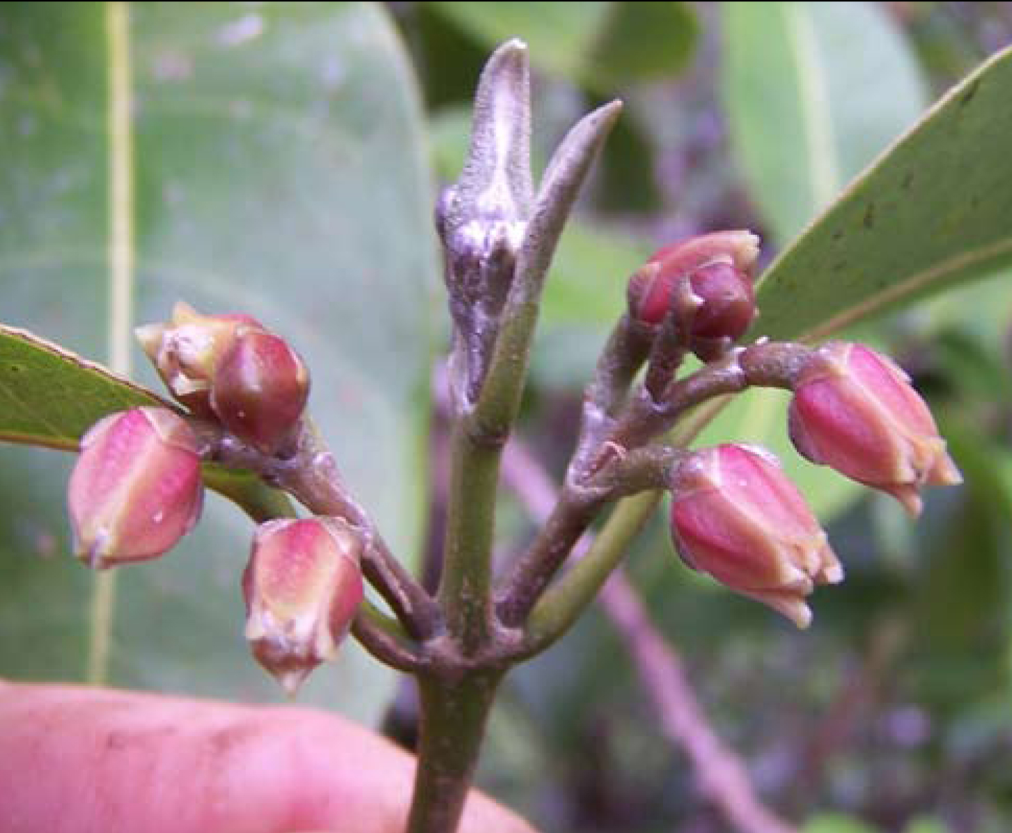 Newly named hawaiian tree species already critically endangered newly named hawaiian tree species already critically endangered smithsonian insider izmirmasajfo