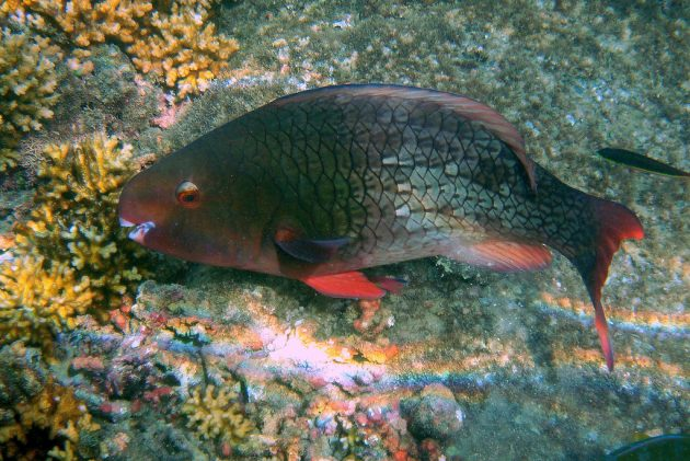 how to make parrot fish grow faster