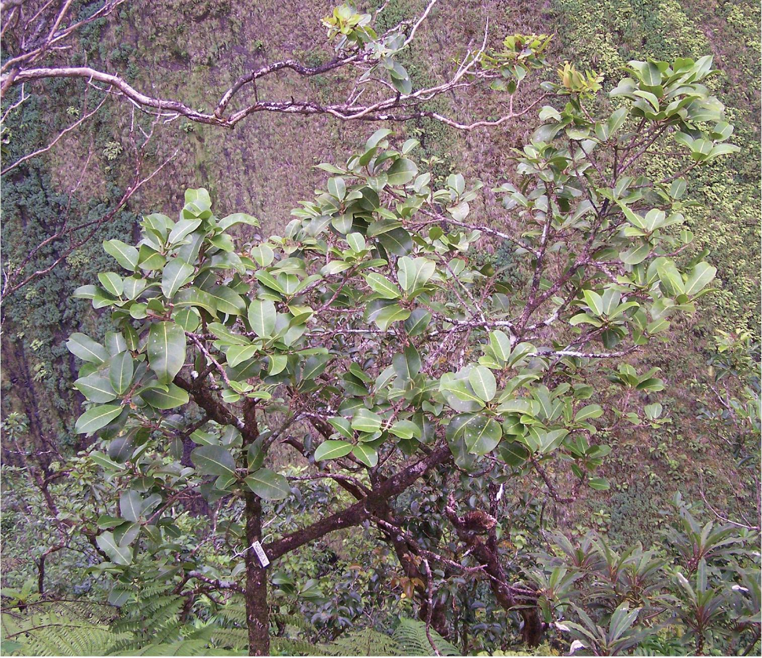 Newly named hawaiian tree species already critically endangered m oppenherimeri izmirmasajfo Images