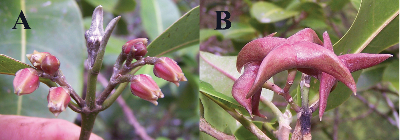Newly named hawaiian tree species already critically endangered melicope oppenheimeri a flowers b fruit showing beaked carpels photo by h oppenheimer izmirmasajfo