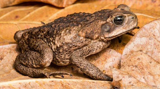 A cane toad (Flickr photo by John Claire)