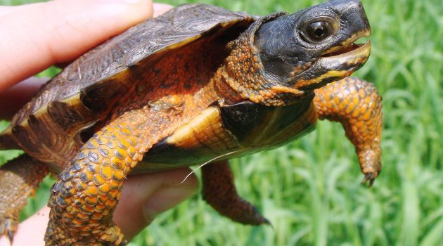 Five fun turtle and tortoise facts from the Smithsonian's National Zoo
