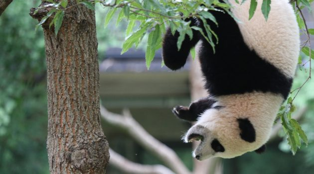 Giant Panda Bao Bao is turning Washington, D.C. upside down with her departure on Tuesday, Feb. 22. Here she celebrates her first birthday at the National Zoo on Aug. 23, 2014. (National Zoo photo)