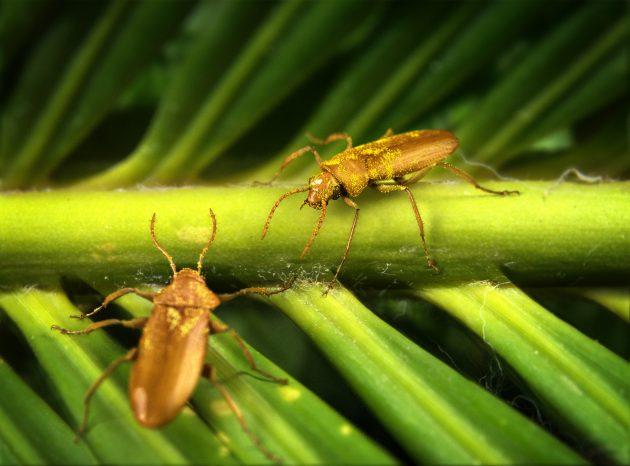 beetle & cycad host