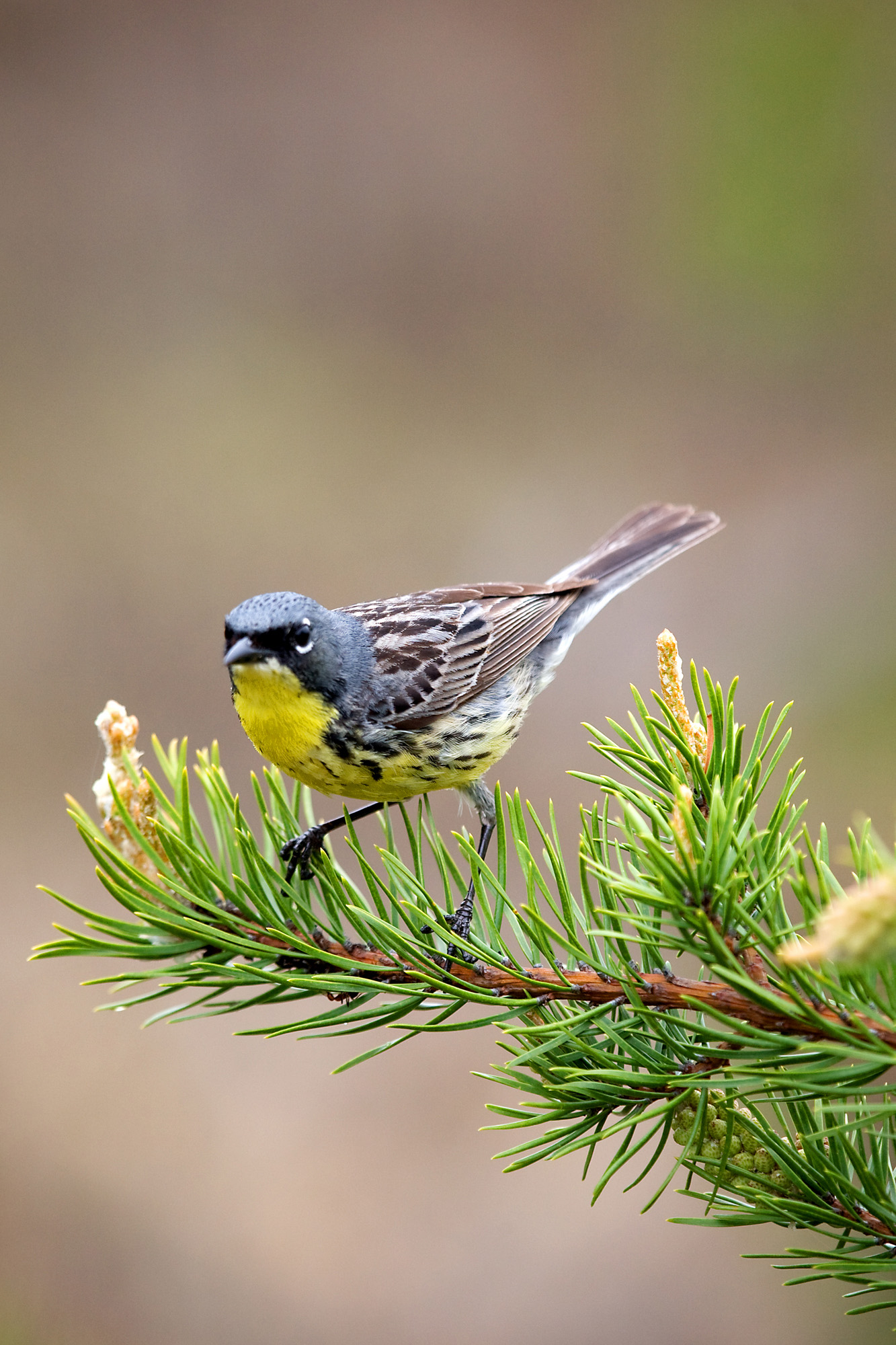 Keeping Track of Kirtland's Warbler All Year Long―A Scientific First