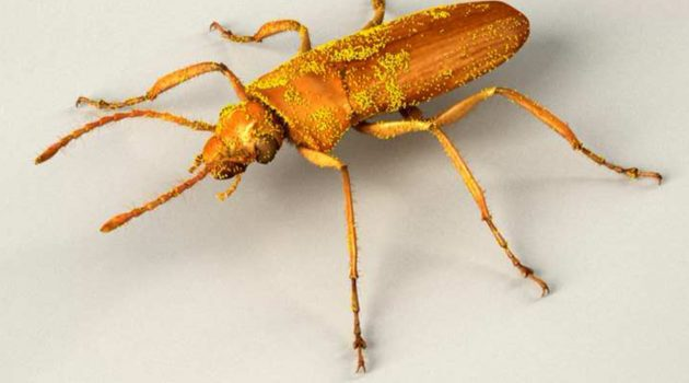 "This 3D model of ""Darwinylus marcosi"" shows how the beetle may have looked before it became stuck in tree resin 105 million years ago. The distribution and density of pollen on ""D. marcosi's"" body is inferred from the density of the shed pollen in the amber surrounding the beetle. (Image  Courtesy José Antonio Peñas, digital scientific illustrator from Madrid, Spain)."