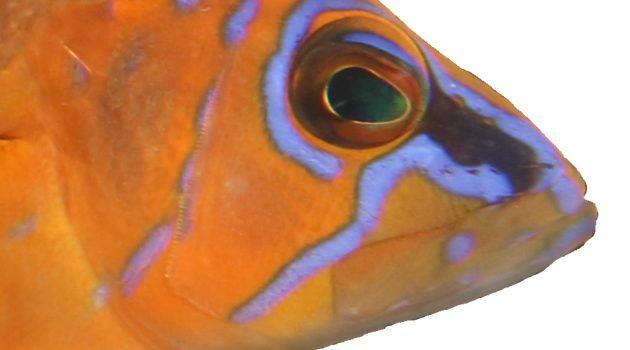 "Simultaneous hermaphrodites: Understanding Speciation in fish called ""hamlets"""