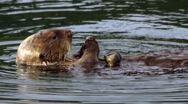 Sea otter (Photo by Jessica Fujii / Monterey Bay Aquarium)