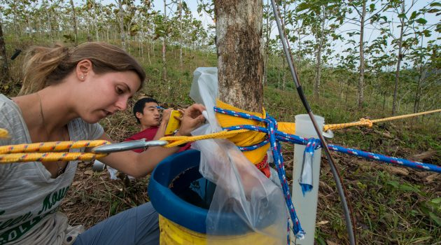 STRI fellow Katherine Sinacore and intern Rand Snyder take measurements of water consumed by a cut teak tree at Smithsonian Tropical Research Institute's Agua Salud research site on Mar 11, 2015. (Photo by Sean Mattson)