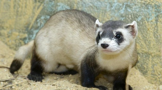 Black-footed ferret (courtesy of the Smithsonian's National Zoological Park)