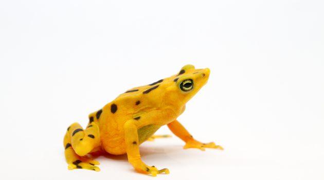 Female Panamanian golden frog (Atelopus zeteki). Photo by Brian Gratwicke/Smithsonian Conservation Biology Institute