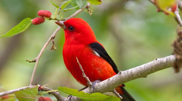 Scarlet tanagers are neotropical migrants, spending winters in Central and South America and summers in North America. (Photo courtesy of the Smithsonian Migratory Bird Center)