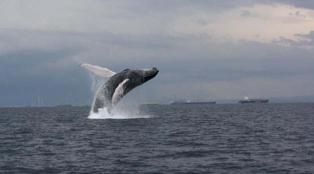 A humpback whale breaches near the Pacific entrance to the Panama Canal. (Photo by Anne Gordon, Whale Watching Panama)