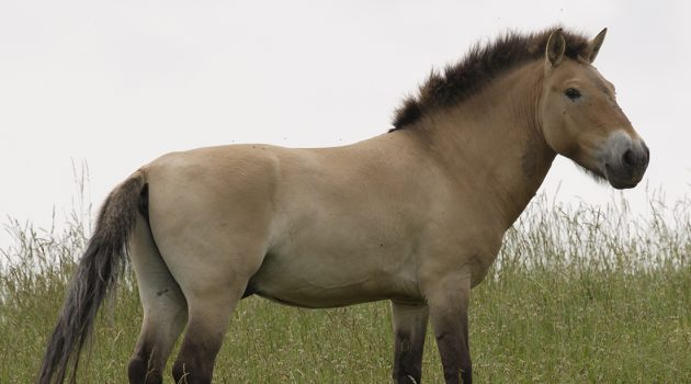 Once extinct in the wild, the Przewalski's horse is a great example of a conservation success story and reason for earth optimism. Through captive breeding programs, including at the Smithsonian Conservation Biology Institute, the species' population has grown enough that some have been reintroduced to their native habitat in China and Mongolia.  (Photo by Jessie Cohen/Smithsonian)