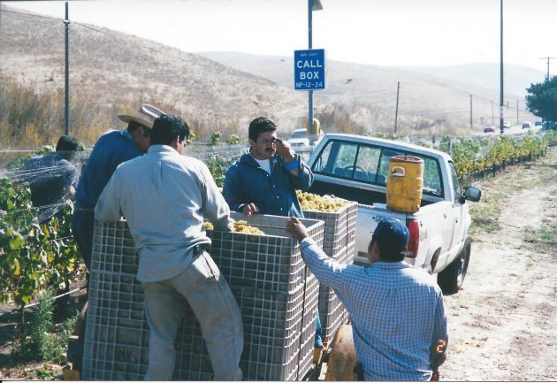 Men loading grapes onto truck