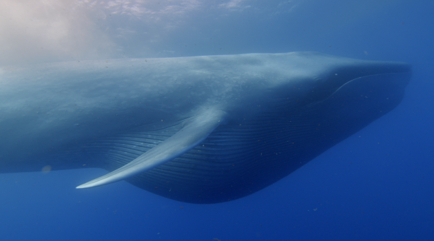 "A blue whale, the largest vertebrate animal ever in the history of life, engulfs krill off the coast of California. Photograph authorized under National Marine Fisheries Service permit #16111 for the BBC program ""The Hunt,"" courtesy of Hugh Pearson and David Reichert (Copyright Silverback Films/BBC)"