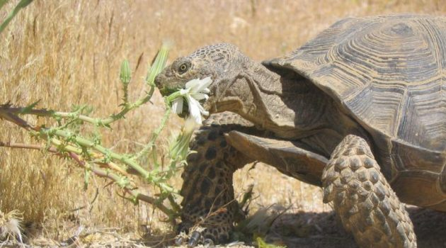 A new study from the Smithsonian Conservation Biology Institute found that translocated male desert tortoises are failing in one key way—they are reproducing at a much, much lower rate than resident males. The findings suggest that for some species, translocation may not be as effective a tool to rescue populations at risk, or bolster genetic diversity and health, as previously thought. (Photo by Andrew Walde)