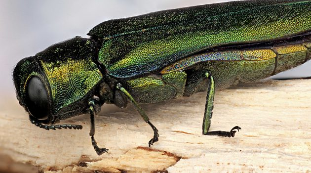 Emerald ash borer (Flickr photo by Macroscopic Solutions)