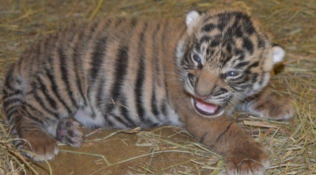 2-week-old Sumatran tiger cub at National Zoo