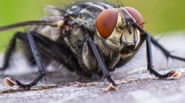 A carrion fly. (Flickr photo by Derek Parker)