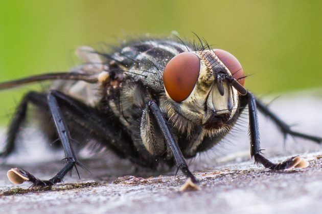 innovation belly gunk from flies used to survey forest animals