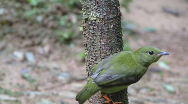 Juvenile female golden-collared manakin (Photo by Ioana Chiver / Smithsonian Tropical Research Institute)