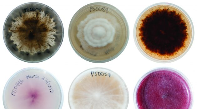 Examples of fungi isolated from seeds in a burial experiment at Barro Colorado Island in Panama. (Photo by Carolina Sarmiento/Smithsonian Tropical Research Institute)