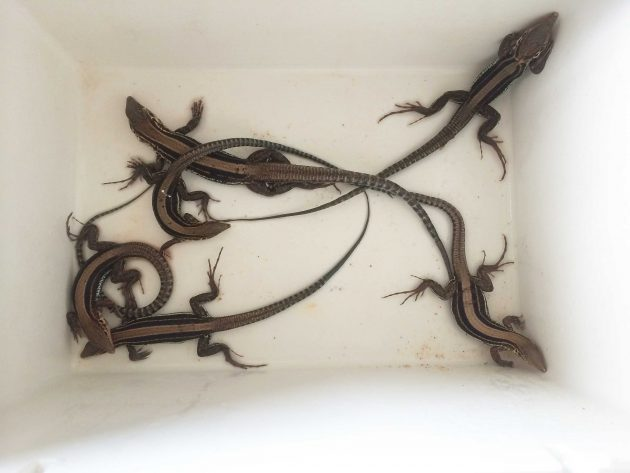 lizards in a cooler