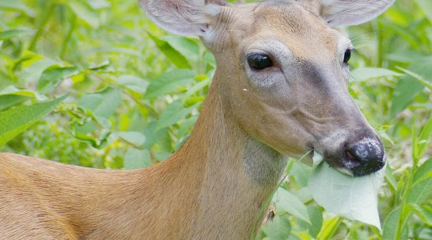 Too many hungry deer are lowering diversity of native plants in eastern U.S. forests