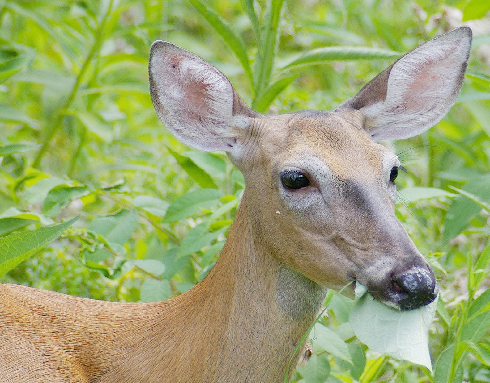 Too many hungry deer are lowering diversity of native ...