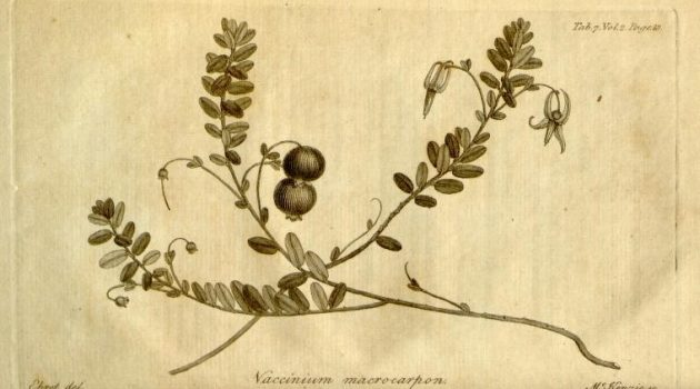 "This illustration of a cranberry plant appears in the 1789 book ""Hortus Kewensis or A catalogue of the plants cultivated in the Royal botanic garden Kew,"" by William Aiton's (volume 2), Smithsonian Libraries copy."