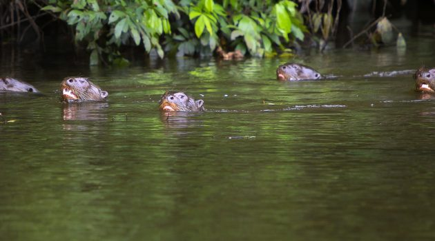 With voices joined in chorus, giant otter families create a distinct sound signature